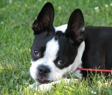 boston terrier playing